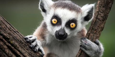 This is an image of a Lemur in a tree.
